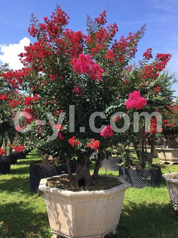 紫薇樹--玫紅盆景