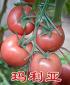 玛利亚越夏西红柿种子