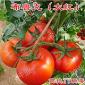 布鲁克大红西红柿种子