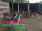 鹿仔销售梅花鹿养殖